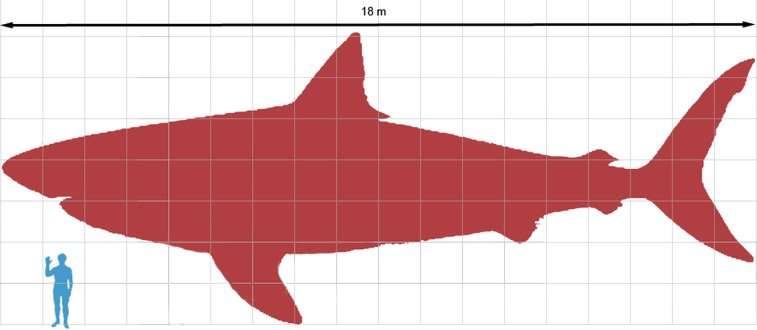 Megalodon silhouette with a human for size comparison