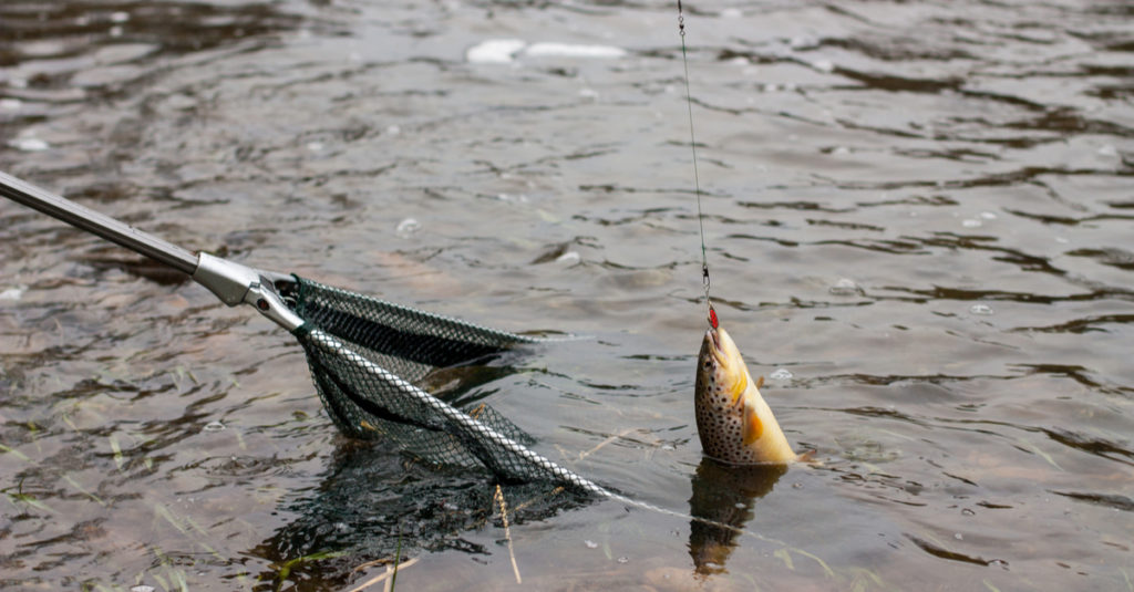 Fish being moved into a landing net