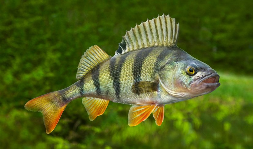 How to Catch Perch